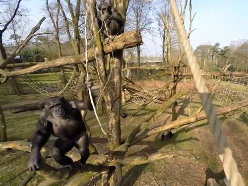 ドローンvsチンパンジー01