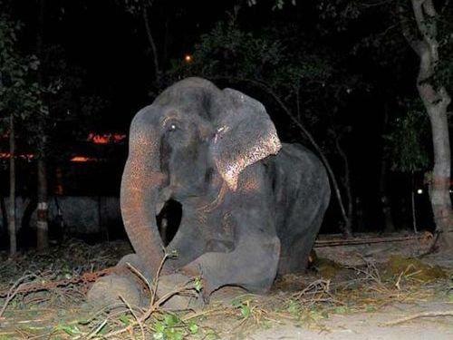 50年間インドで監禁されていたゾウが救出される01