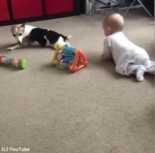 赤ちゃんにハイハイを教える犬01