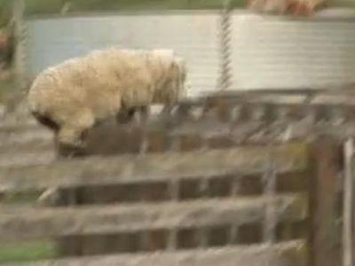 凄いジャンプする羊