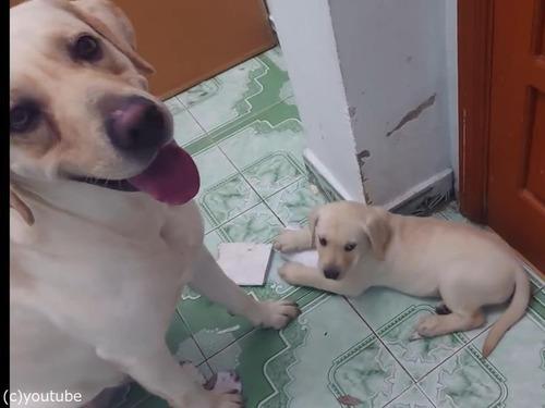 子犬をしかろうとしたら、親犬が守る00