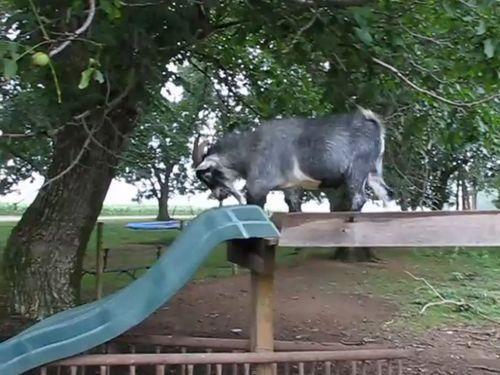 すべり台で遊ぶヤギ01
