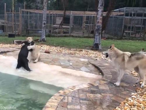 オオカミ、ライオン、クマのじゃれ合い02