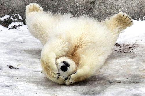 楽しい白クマ11