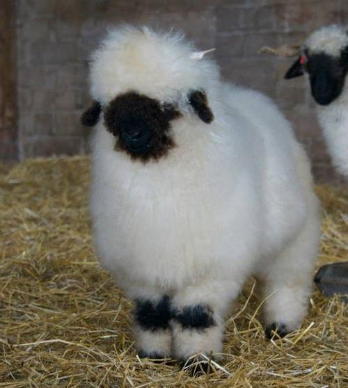 世界一かわいい羊08