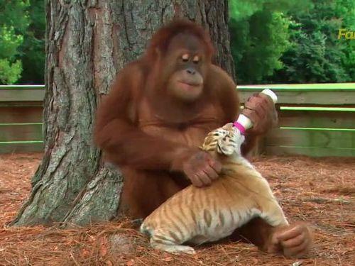 虎の赤ちゃんとオランウータン01