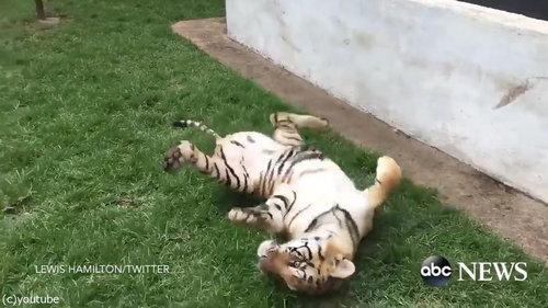 虎を背後から脅かすと05