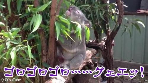 コアラの鳴き声03