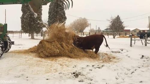 新しいベッドにはしゃぐ牛がかわいいいいい01