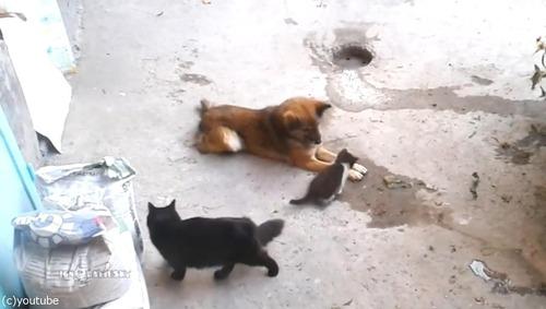 母猫が旧友の犬に会いにやって来た…子猫を連れて01