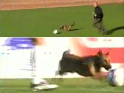 サッカーの試合に迷い込んだ犬