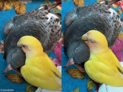 インコとハトが親友00