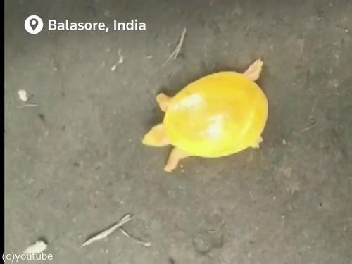 神々しい黄色の亀が発見される01