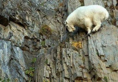 ヤギの崖を登る能力05
