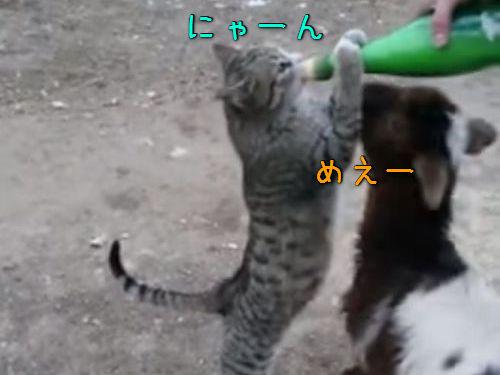 猫と子ヤギのミルク争奪戦00