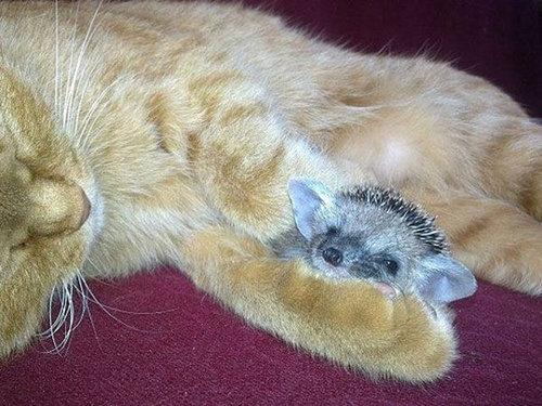 猫とハリネズミの赤ちゃん02