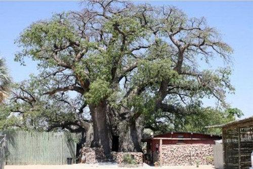 バオバブの木10