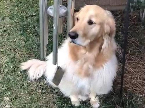 ウィンドチャイムで弾き語りする犬00