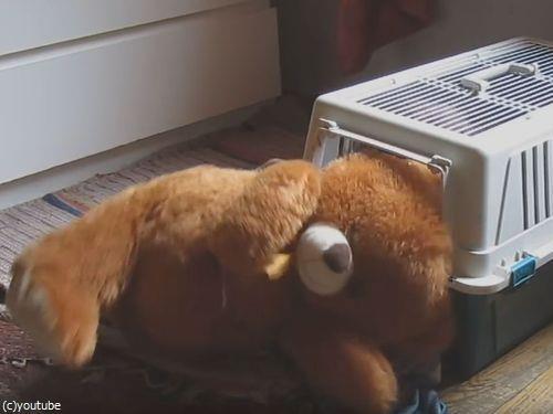 クマのぬいぐるみと一緒じゃないと昼寝をしない犬08