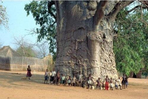 バオバブの木03