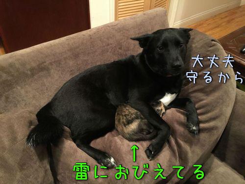 落雷から猫を守る犬00