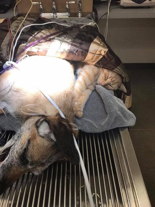 動物病院で他の動物たちを世話する猫01