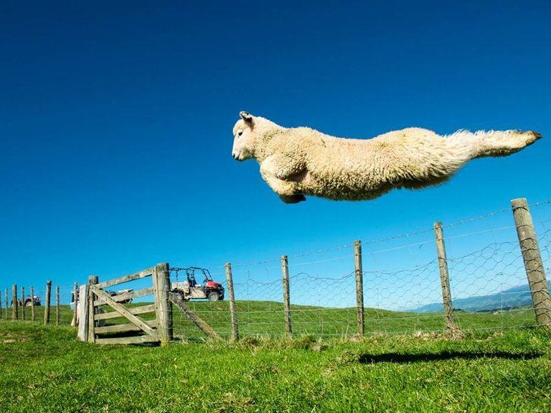 「羊史上、最高に美しいジャンプ」→次々にパロディ写真が作られる