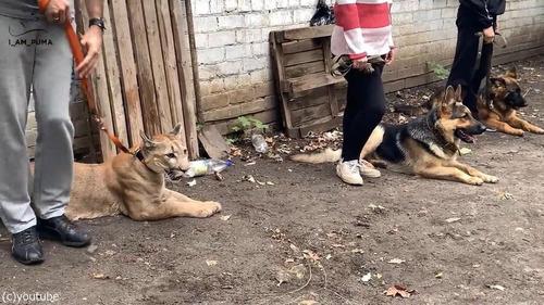 犬の訓練にピューマ01
