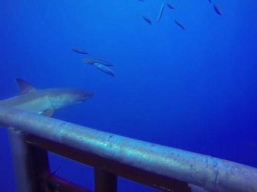 サメのおとり、こっちに気を取られている間に01