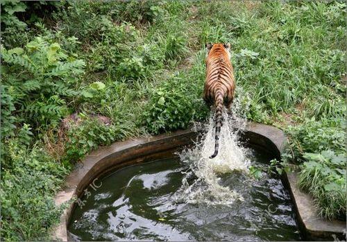 虎vsホワイトタイガー12