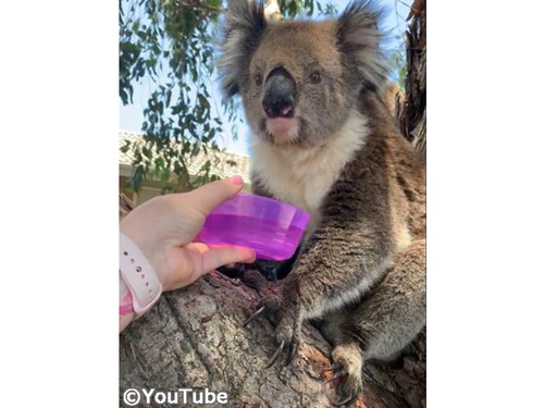 コアラにお水を差しだしたら…ゴクゴク飲み始めた!00