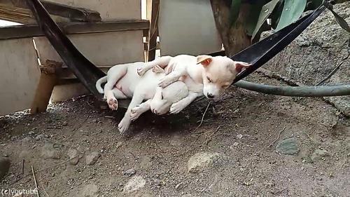 ハンモックで眠る子犬たち03