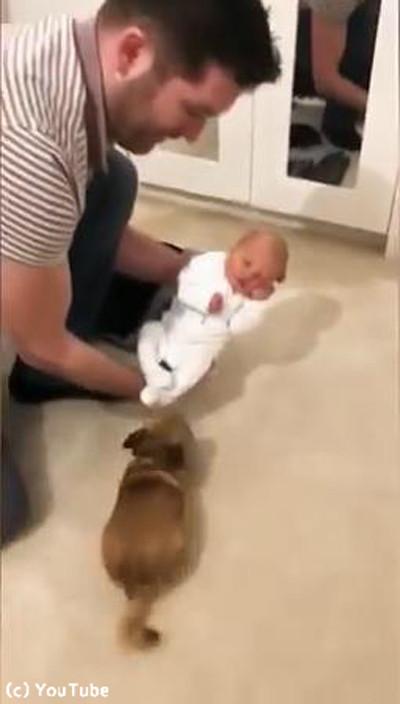 妊婦を守ってきたチワワが赤ちゃんと初対面03