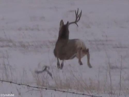 鹿のツノが抜け落ちる瞬間05