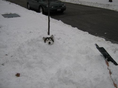 猫みたいなハスキー犬16