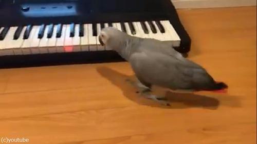 ペットのインコ、キーボード奏者になる01