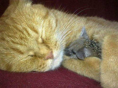 猫とハリネズミの赤ちゃん10