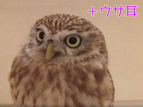 ウサギフクロウは最高00