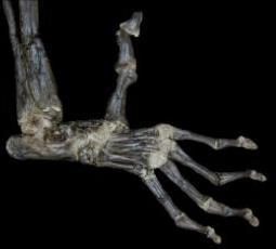 ヒトや類人猿の共通の祖先02