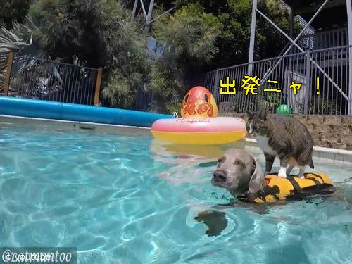 犬の背中に乗ってプール遊びをする猫00