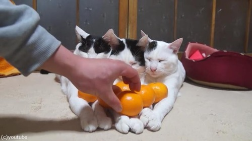 猫の上にみかん02