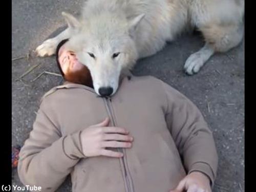 人間にベッタリのオオカミ00