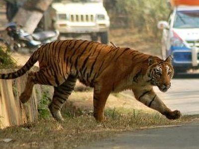 虎が動物園から抜け出し1万人が逃げる00