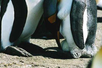ペンギンのヒナが卵から出てくる一部始終07