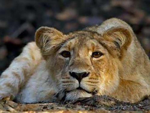 交尾依存症のライオン