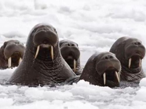アラスカビーチに35000頭のセイウチ00