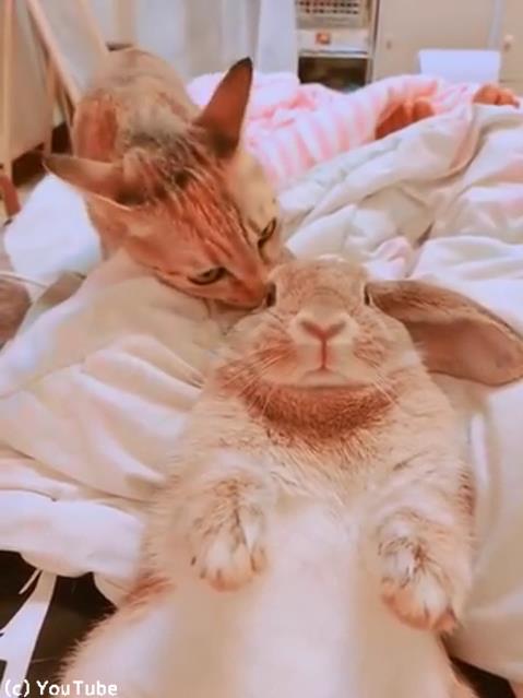 めっちゃウサギの毛づくろいする猫01