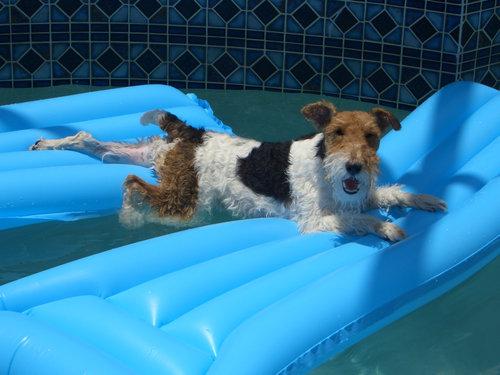 プールで遊び倒した後の犬07