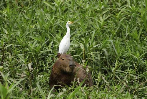 他の動物と仲良しのカピバラ11