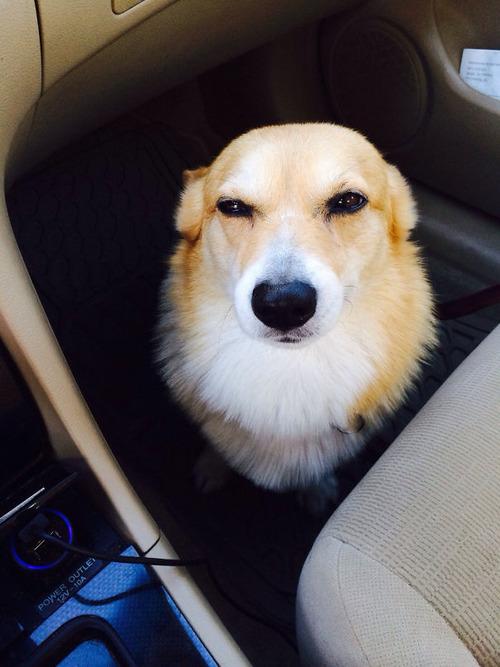 獣医に行くと悟った犬09